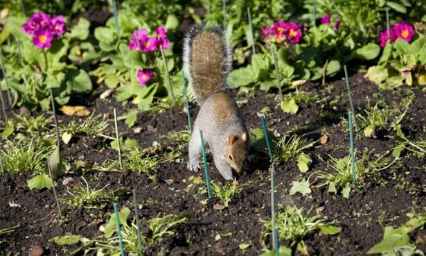 Grey squirrel in a flower border