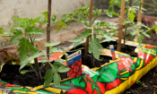 This is why your tomato plant looks ill, plus other veg problems