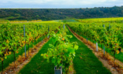 Which English wine should you choose for summer?