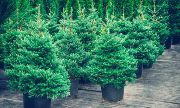 Christmas trees in pots