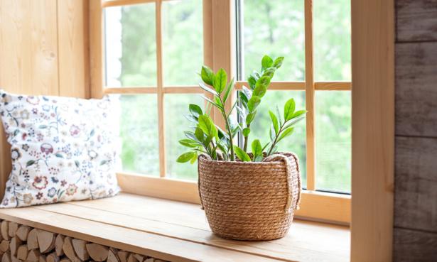 Zamioculca houseplant