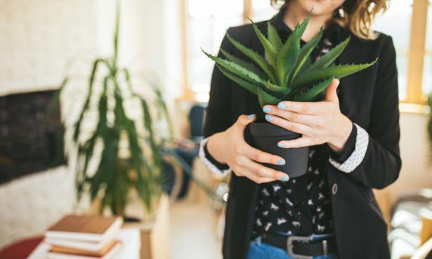 Aloe vera houseplant