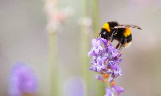Bee on a flower with a shallow depth of field