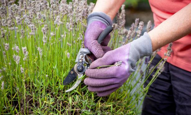 Cutting back lavender
