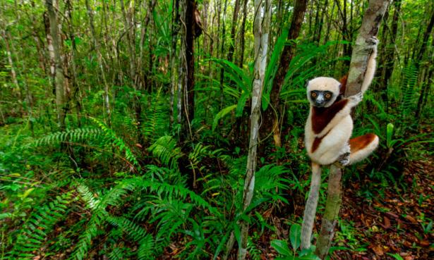 A lemur in Atsinanana