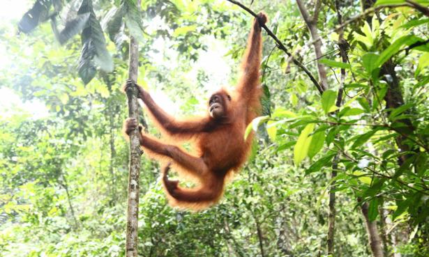 An orang-utan in the Sumatran rainforest