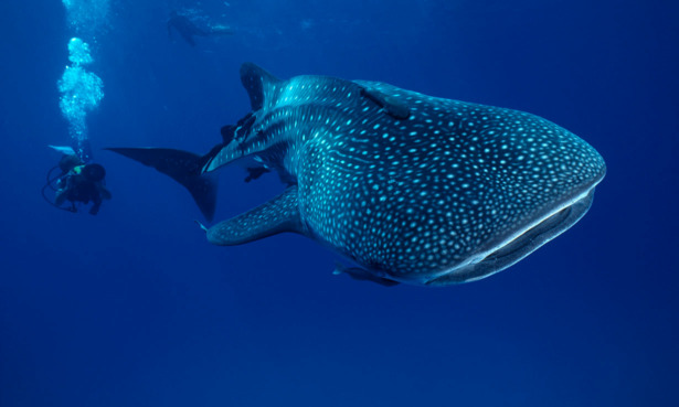 A whale shark in the Gulf of California