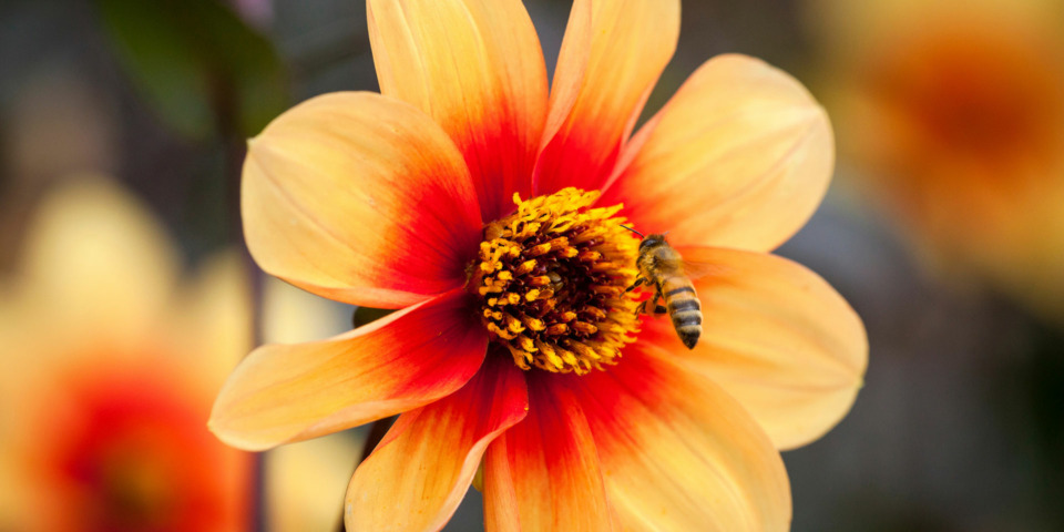 What to plant to help bees in late summer