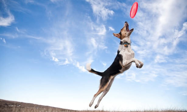 A dog leaping for a frisbee