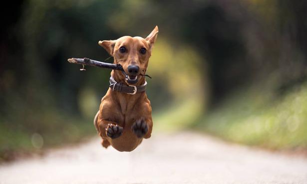Dog leaping at the camera