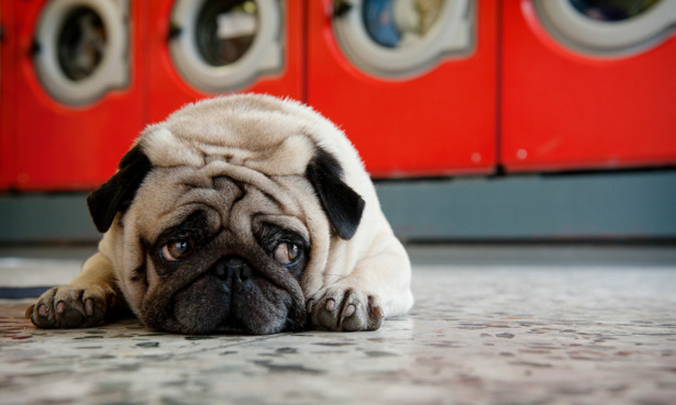 Pug in a laundromat