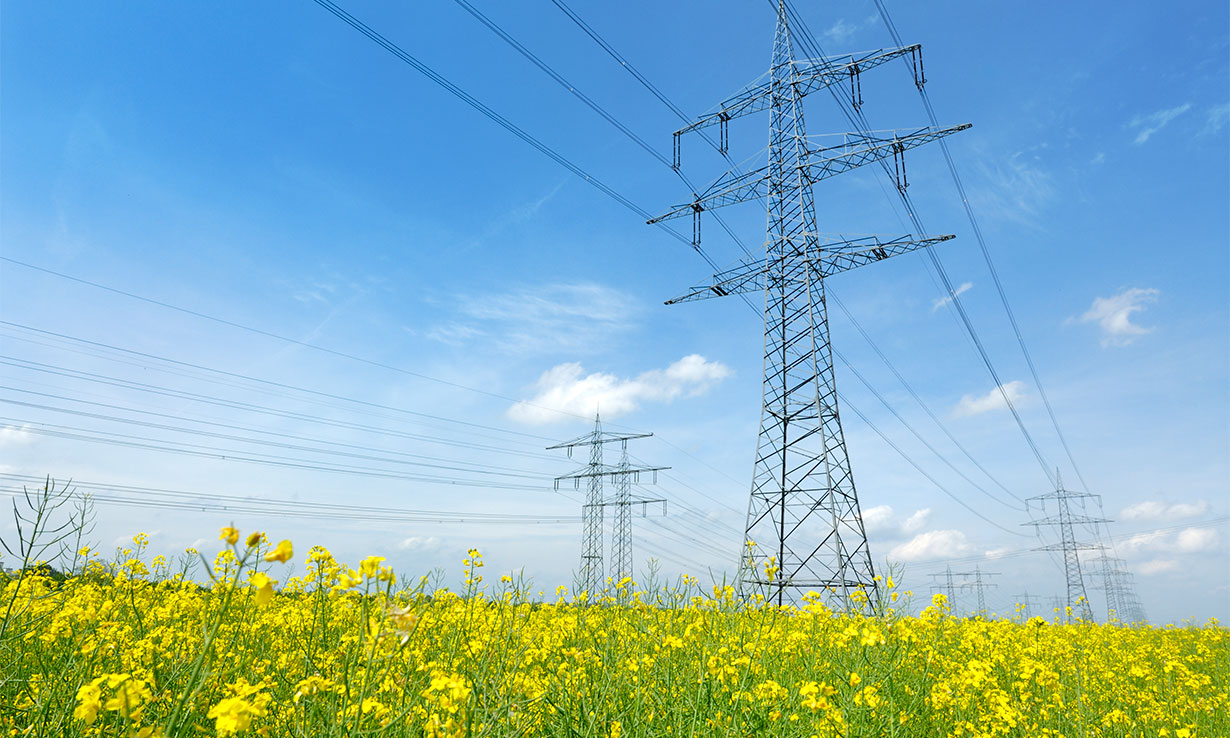 Electricity pylons in a field of yellow flowers