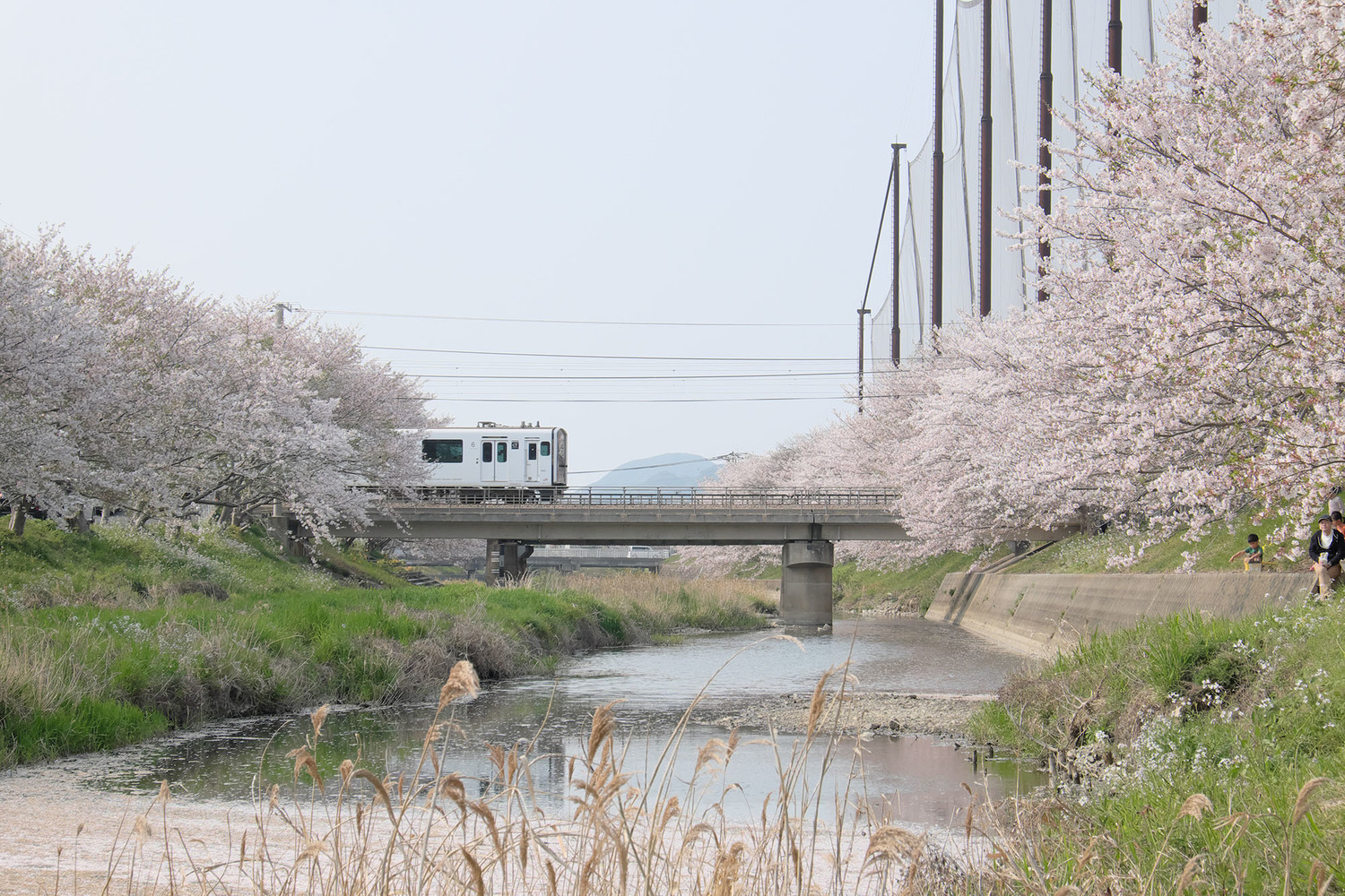 Plant, Flower, Railway, Transportation, Person, Cherry Blossom, Vehicle, Train, Grass, Locomotive
