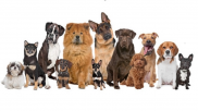 Puppies for Sale And Adoption