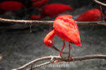 scarlet ibis photos