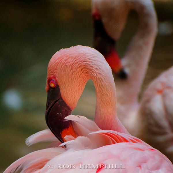 pink flamingo pictures