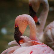 Flaming Pinks