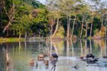 water buffalo pictures