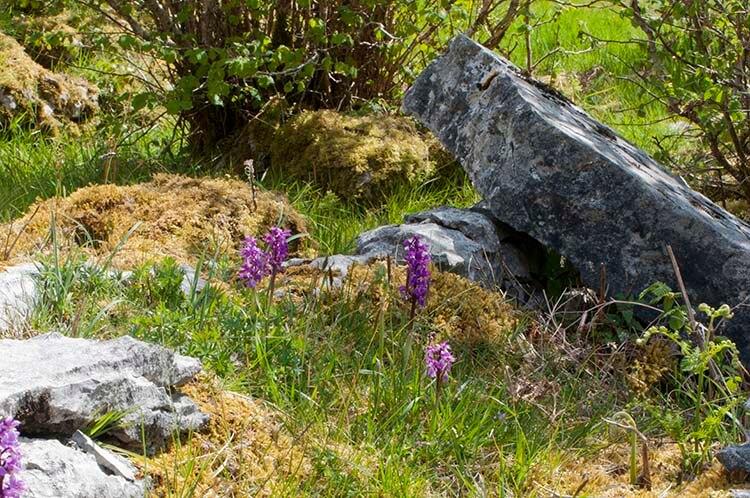 burren orchids