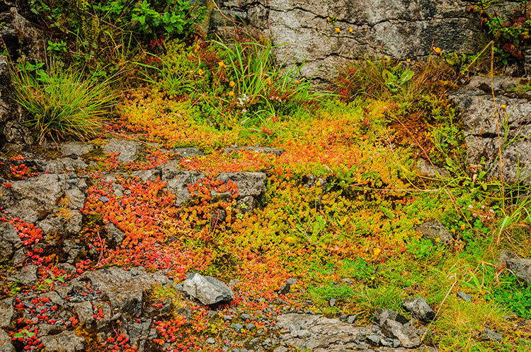 colorful flora of the burren in ireland