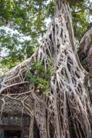 angkor wat tree roots