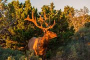 grand canyon elk