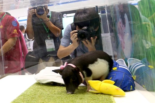 Un Mini cochon génétiquement modifié, crée par un institut chinois. On peut l'acheter pour 1 600 dollars