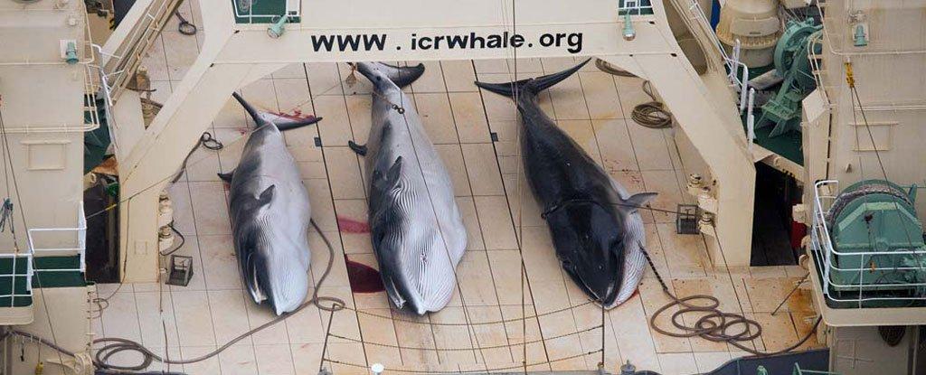 Le Japon reprend la chasse à la baleine dans l'Arctique malgré l'interdiction