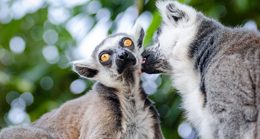Les lémuriens communiquent toujours avec leurs meilleurs amis