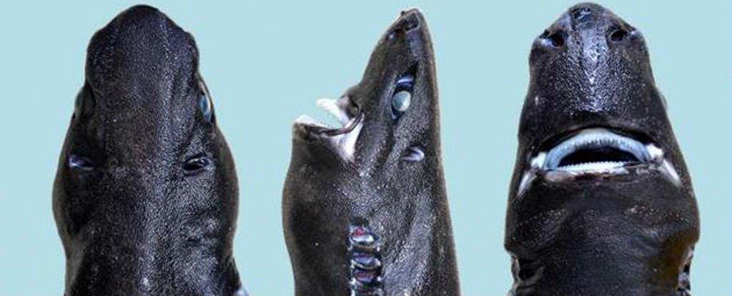 Le Ninja Lanternshark est une nouvelle espèce de requin qui brille dans le noir