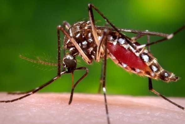La femme du moustique Aedes aegypt responsable de la transmission du virus Zika. Il provoque une microcéphalie chez les nouveaux-nés et le CDC conseille aux femmes enceintes d'éviter l'Amérique Latine