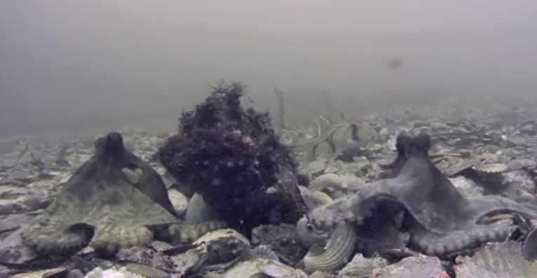 La pieuvre utilise un langage corporel avec ses bras dans des situations de combat