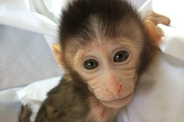 Des singes OGM pour avoir l'autisme