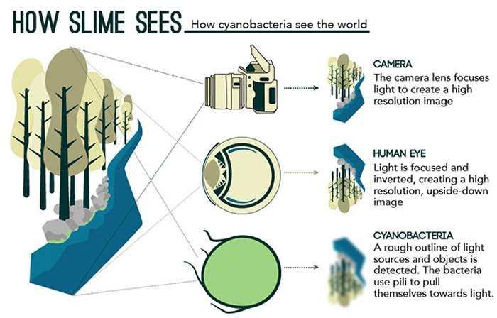 La vision d'une bactérie dont les cellules se comportent comme des yeux microscopiques