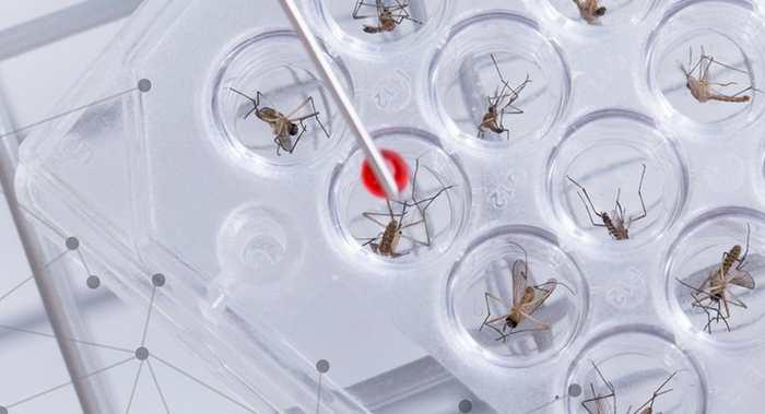 L'OMS envisage d'utiliser des moustiques génétiquement modifiés pour lutter contre l'épidémie du virus Zika.