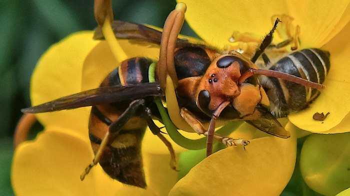 Les abeilles asiatiques possèdent un système d'alarme sophistiqué contre les prédateurs