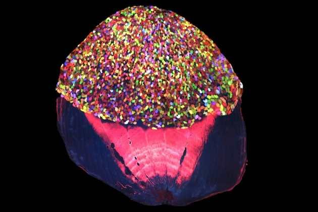 Une coupe de la peau de ce poisson-zèbre pour montrer les cellules fluorescentes dans la partie supérieure.
