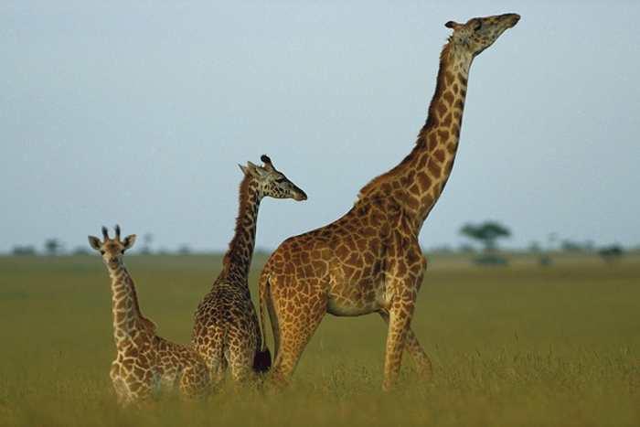 Les scientifiques ont découvert des mutations qui pourraient expliquer pourquoi les girafes sont les animaux les plus longs du monde.