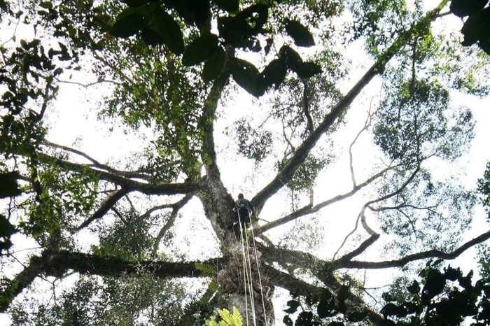 Le plus grand arbre tropical de l'espèce Yellow Meranti a été découvert en Malaisie mesurant une hauteur vertigineuse de 89,5 mètres.