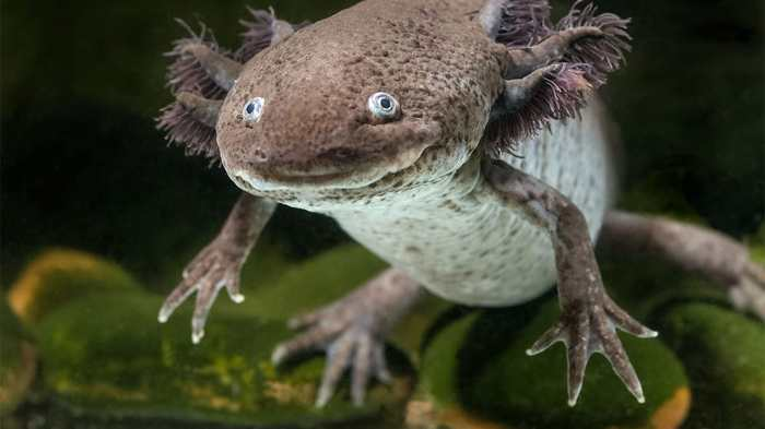 Des salamandres comme l'axolotl peuvent regénérer leurs membres et la science vient d'expliquer le mécanisme génétique derrière ce processus.