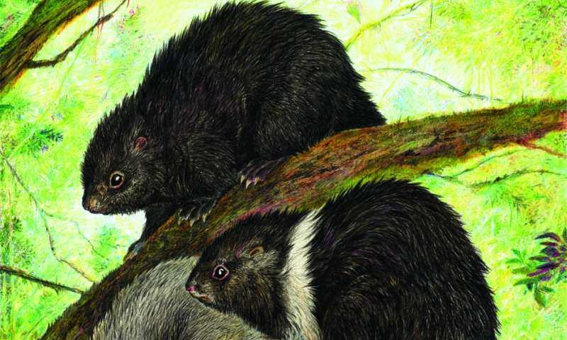 Des animaux appelés Cloud Rat qui sont endémiques sur l'île de Luçon. Cette image a été dessiné par les scientifiques du Field Museum