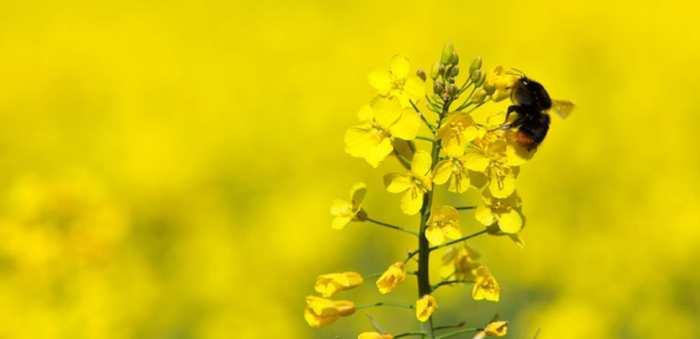 Une étude démontre un lien entre l'utilisation des pesticides de type Néonicotinoïde et la diminution des abeilles en Angleterre.