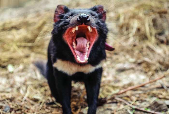 Quelques spécimens de diable de Tasmanie ont évolué pour développer une résistance contre un cancer transmissible qui a quasiment exterminé leur espèce.