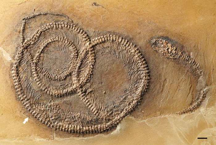 Il y a 48 millions d'années, un animal proche de l'iguane a mangé un insecte. Mais un serpent a débarqué qui a mangé cet iguane. Et on le sait parce qu'on a découvert leurs fossiles imbriqués. Le serpent qui a avalé l'iguane qui a avalé l'insecte a été entièrement fossilisé.