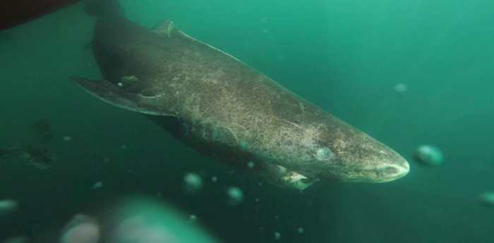 La longévité de 400 ans du requin de Groenland nous permet de revenir sur les animaux les plus vieux de la planète.