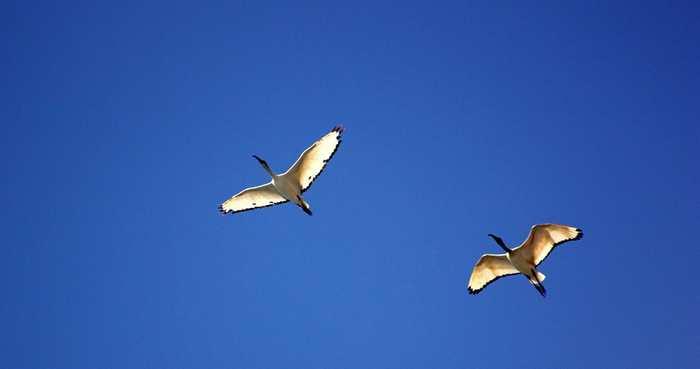 Avez-vous déjà remarqué que les oiseaux ne se percutent quasiment jamais en plein vol ? Une étude, très limitée sur ses données, suggèrent que c'est parce qu'ils virent toujours à droite.
