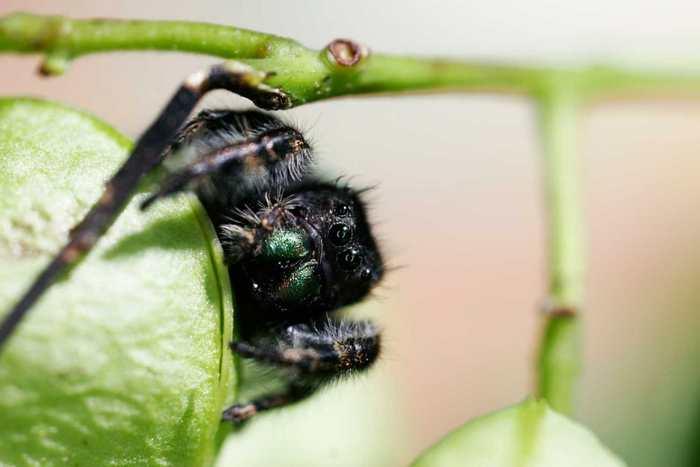 On pensait que l'ouïe des araignées était très faible, mais une recherche montre que les araignées sauteuses peuvent entendre des sons à plus de 3 mètres.