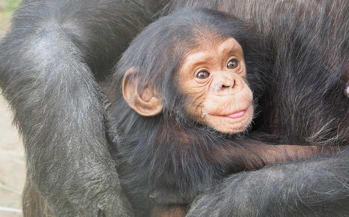 Les chimpanzés et les bonobos sont bien plus proches qu'on pensait. Les bonobos ont donné leurs gènes aux chimpanzés 2 fois pendant les 2 derniers millions d'années.