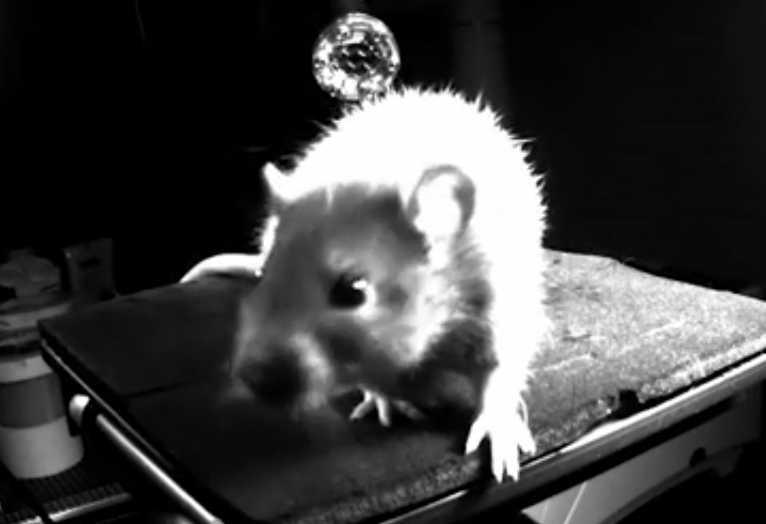 Des chercheurs mettent en évidence des liens entre la bonne humeur et la chatouille chez les rats.