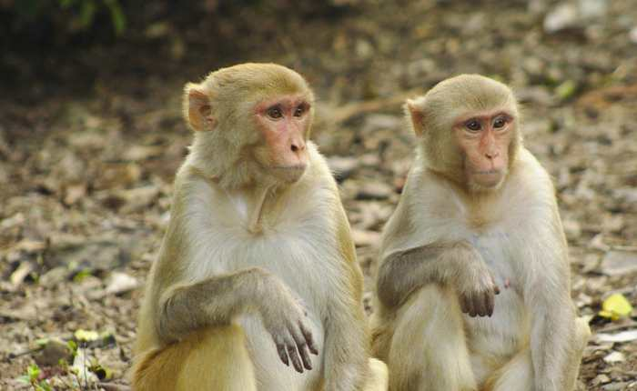 Une recherche suggère que la santé du système immunitaire est associée au statut social chez les macaques.